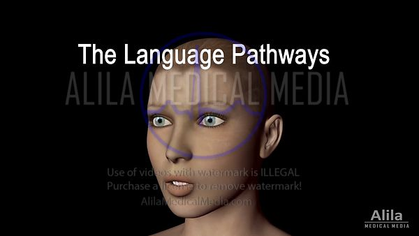 Language pathways and aphasia NARRATED animation