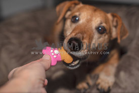terrier being hand fed a bone shaped dog treat