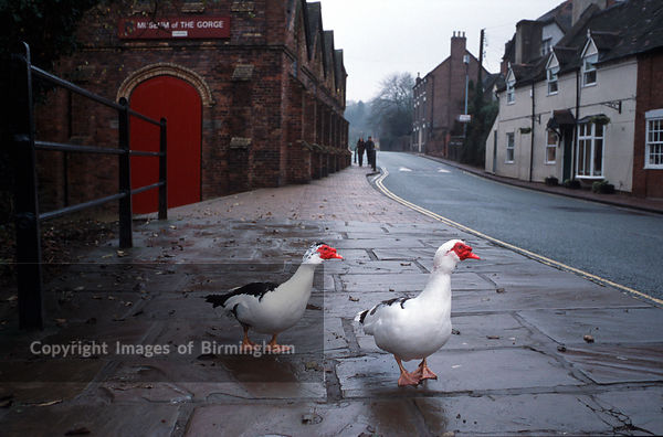 Ducks on the Wharfage in Ironbridge, Telford. Shropshire, England, UK.