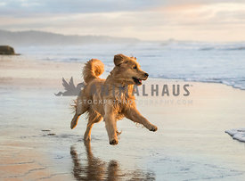 golden retriever running funny at the beach near water