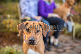 Young Ridgeback dog pauses while family sits on a bench at a park
