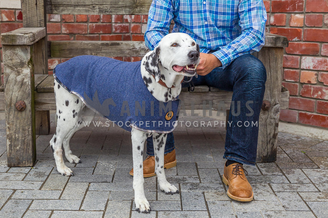 dalmatian and owner outdoors