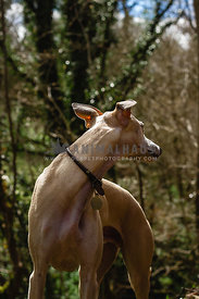whippet in wood head turned looking back