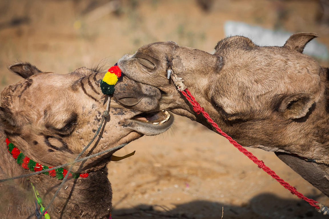 "Two camels ""kiss"" at the Pushkar Camel Mela, Pushkar, Rajasthan, India. They maintained this enthusiastic embrace for 20 minu..."
