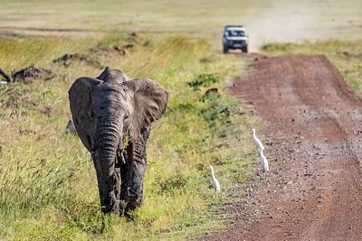 Elephant Calf on Side of Road With Safari Vehiclee