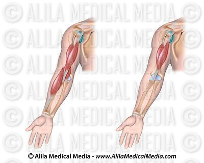 Muscles acting on flexion of the elbow.