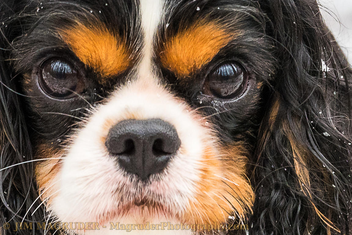 Cole - King Charles Spaniel