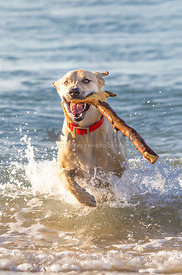 happy dog running out of the ocean with a huge stick in his mouth