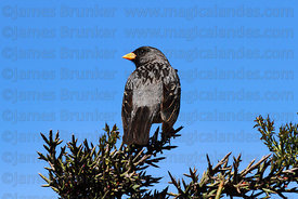 Adult male Mourning sierra finch (Phrygilus fruticeti)