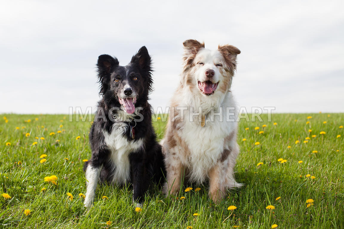 Two Dogs Sitting in Grass and Dandelions
