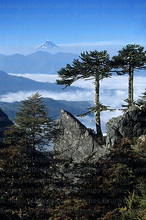 Monkey Puzzle (Araucaria araucana) trees, Lanin volcano in distance, Huerquehue National Park, Region IX, Chile