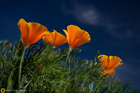 California Poppies #6