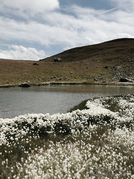 Cotton grass field and pond