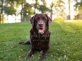 Chocolate Labrador Dog Lying on Grass in Field
