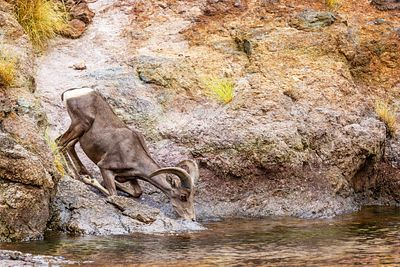 Bighorn Sheep Drinking From Lake in Summer