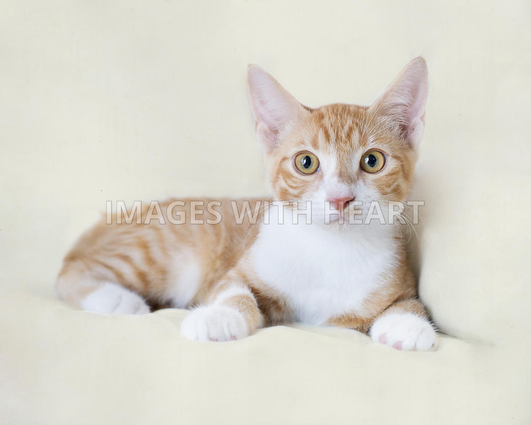 Orange and white kitten looking at camera