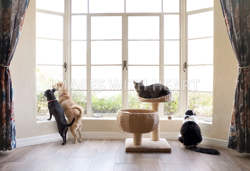 Two dogs and two cats looking out a bay window.