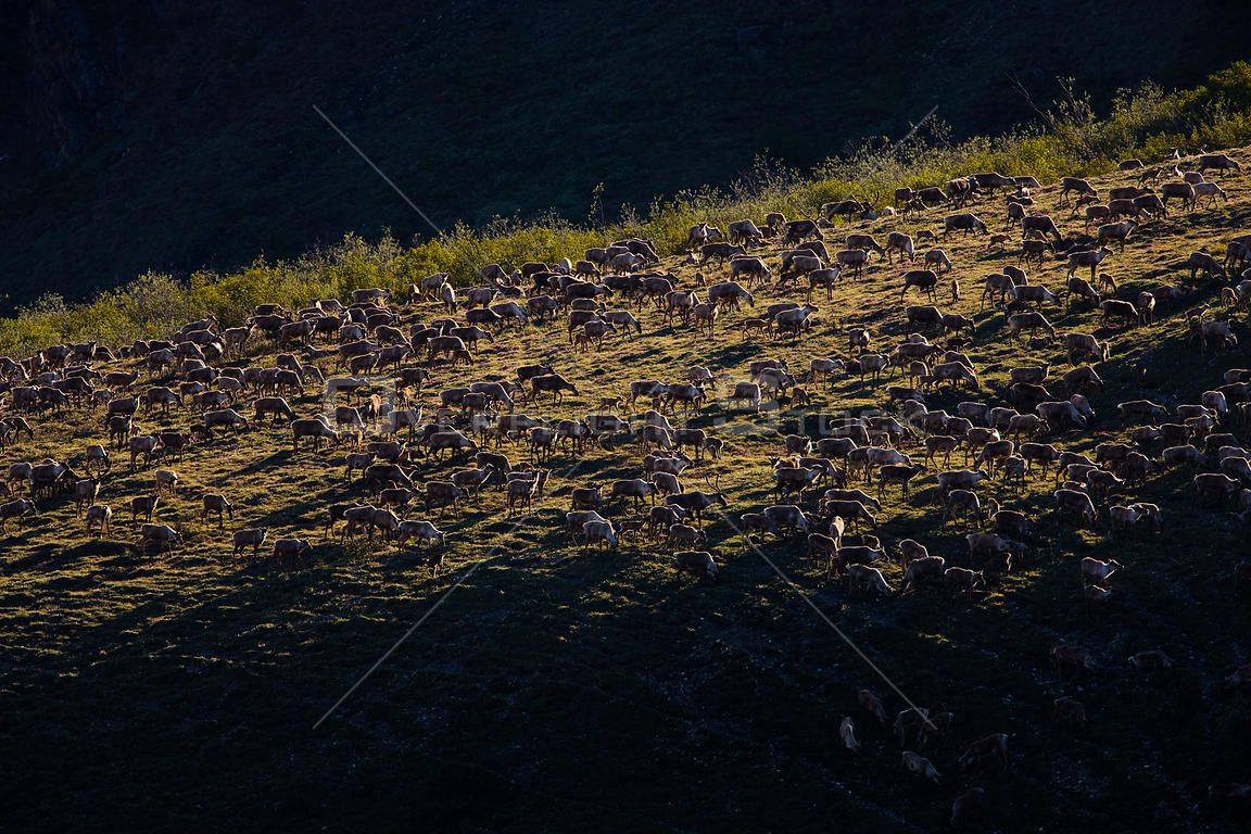 Aerial view of Caribou (Rangifer tarandus) herd during summer migration, Arctic National Wildlife Refuge, Alaska, June 2009