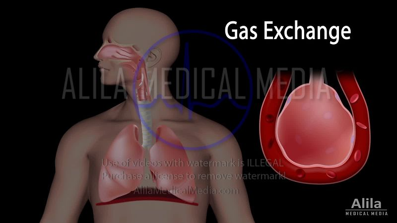Gas exchange NARRATED animation