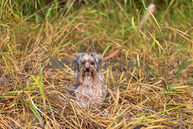 Yorkshire terrier sitting in tall grass