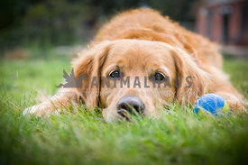 Golden Retriever lying down on grass