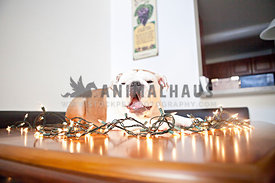 yawning bulldog laying on table with christmas lights