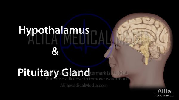 Hypothalamus and pituitary gland NARRATED animation