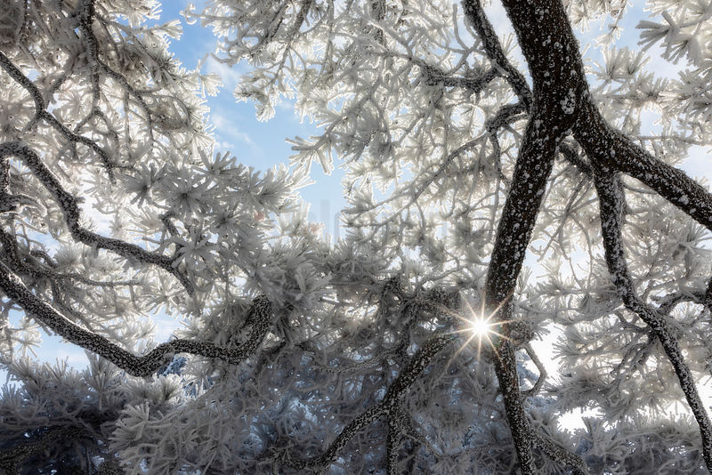 Rime Ice on Huangshan Pine Branches