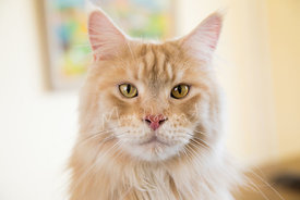 Close-up of Red Silver Maine Coon Cat with Yellow Eyes and pink nose