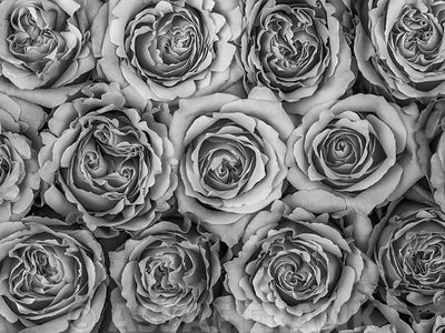 Background of roses full frame