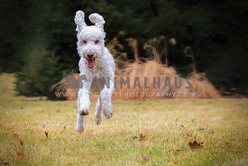 Young and energetic golden doodle dog having fun leaping through air on the grass
