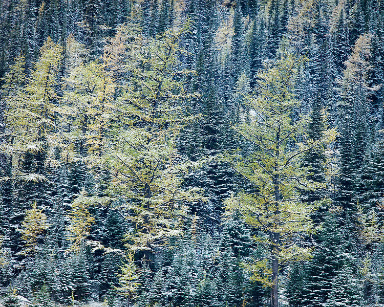 Bracing larches