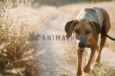 happy rhodesian ridgeback trotting towards camera in golden field