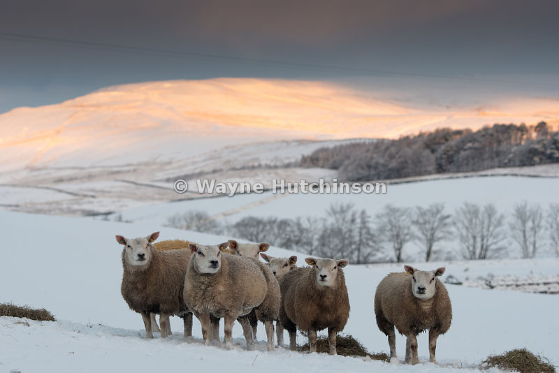 Texel sheep waiting for feed to be brought to them in snow, North Yorkshire, UK.