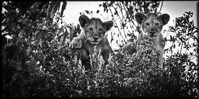 7944-Lions_cubs_in_the_grass_Kenya_2006_Laurent_Baheux