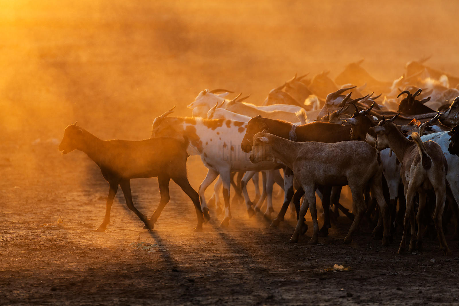Herd of Goats at Sunrise