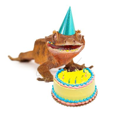 Funny Gecko Lizard Eating Birthday Cake
