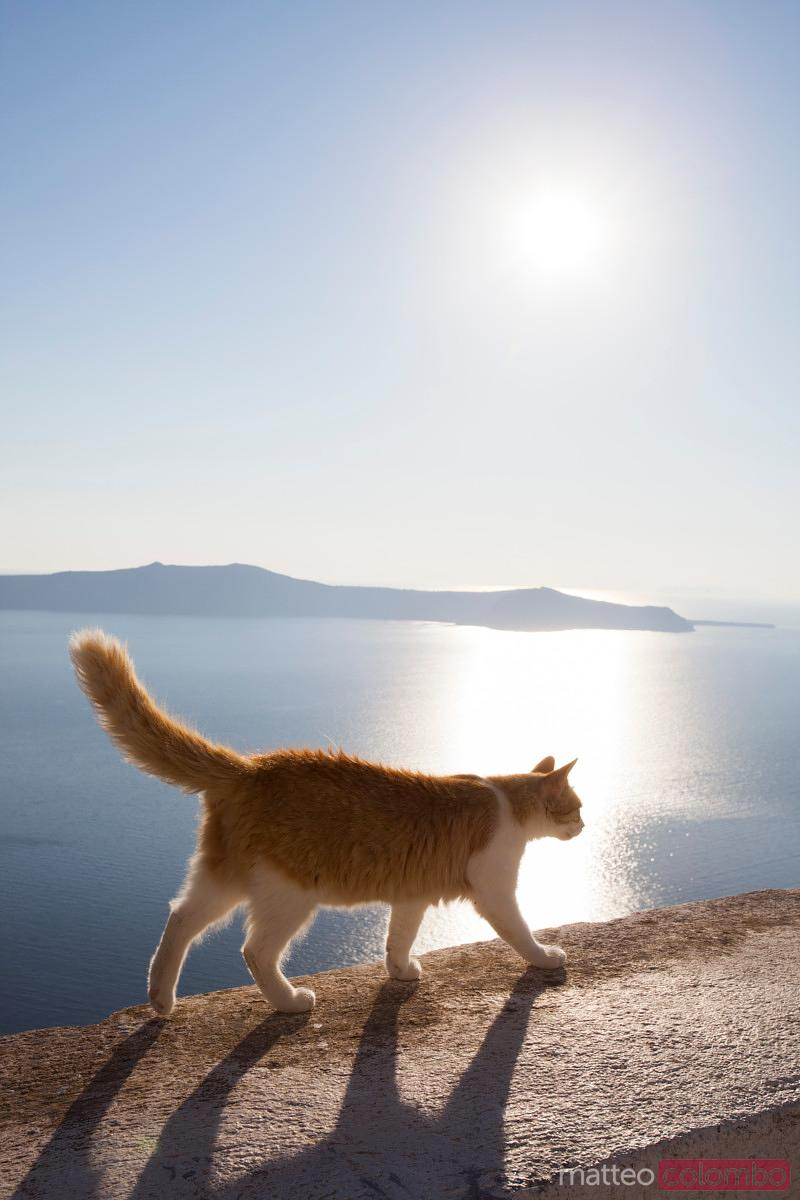 Cat walking on a wall, Santorini, Greece