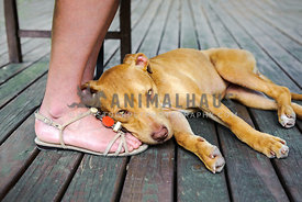 Young pit bull puppy lying on wooden deck on woman's feet