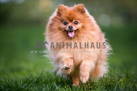 pomeranian running close up