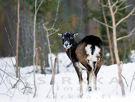 Female European Mouflon