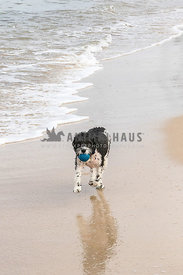 Black and white medium size designer breed running on beach carrying a blue ball in mouth with a reflection in the sand.