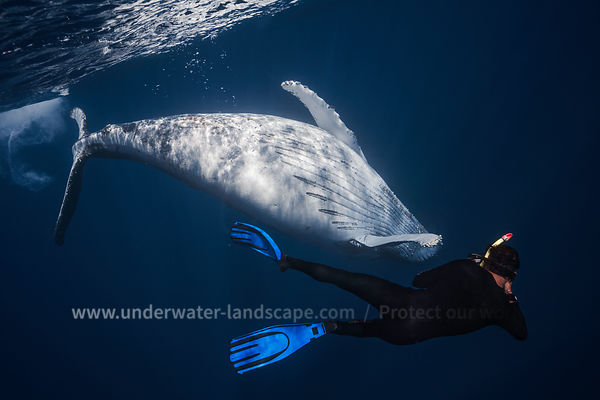 Humpback Whale swimming with underwater photographer