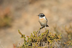 Canary Islands Stonechat Saxicola dacotiae male Fuerteventura Canary Islands