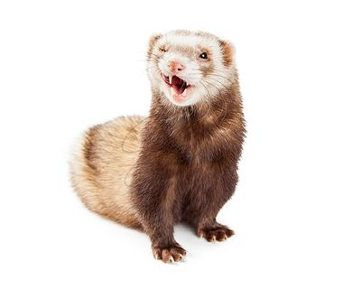Cute Pet Ferret Funny Expression