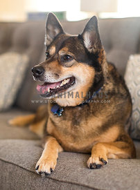 mixed breed shepherd dog profile laying on brown couch
