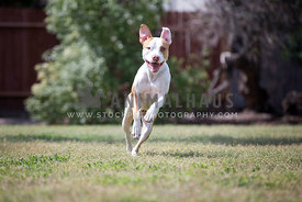 dog leaping with open mouth smile and eye contact