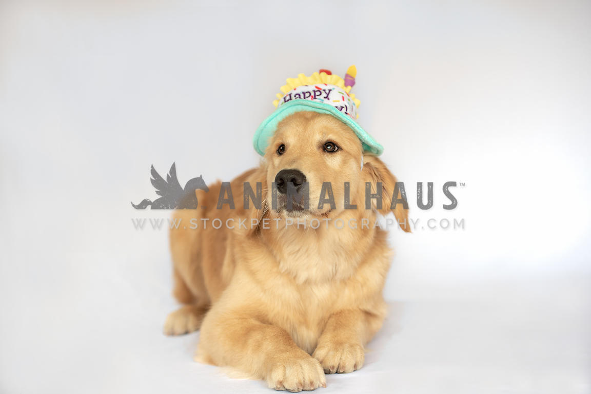 golden retriever lying down wearing happy birthday hat