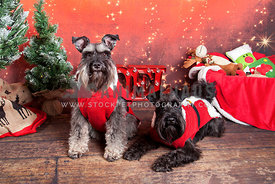 2 mini schnauzers in christmas outfits with festive backdrop