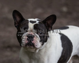 young French Bulldog portrait